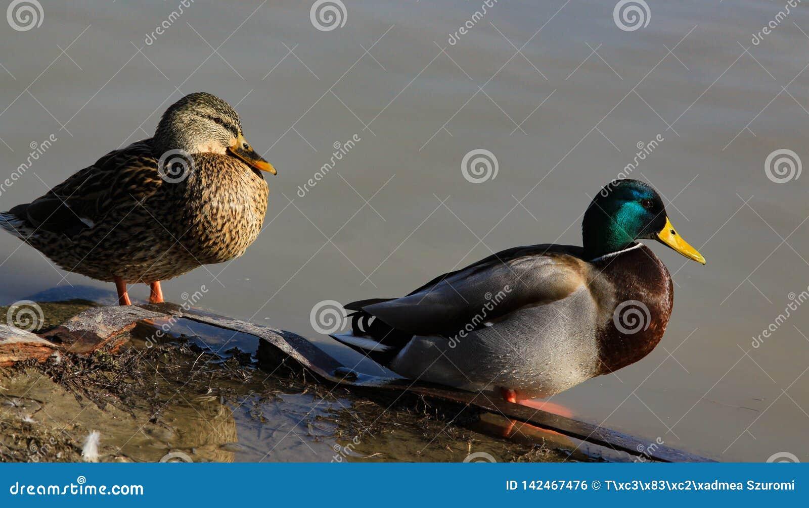 在河沿的野鸭