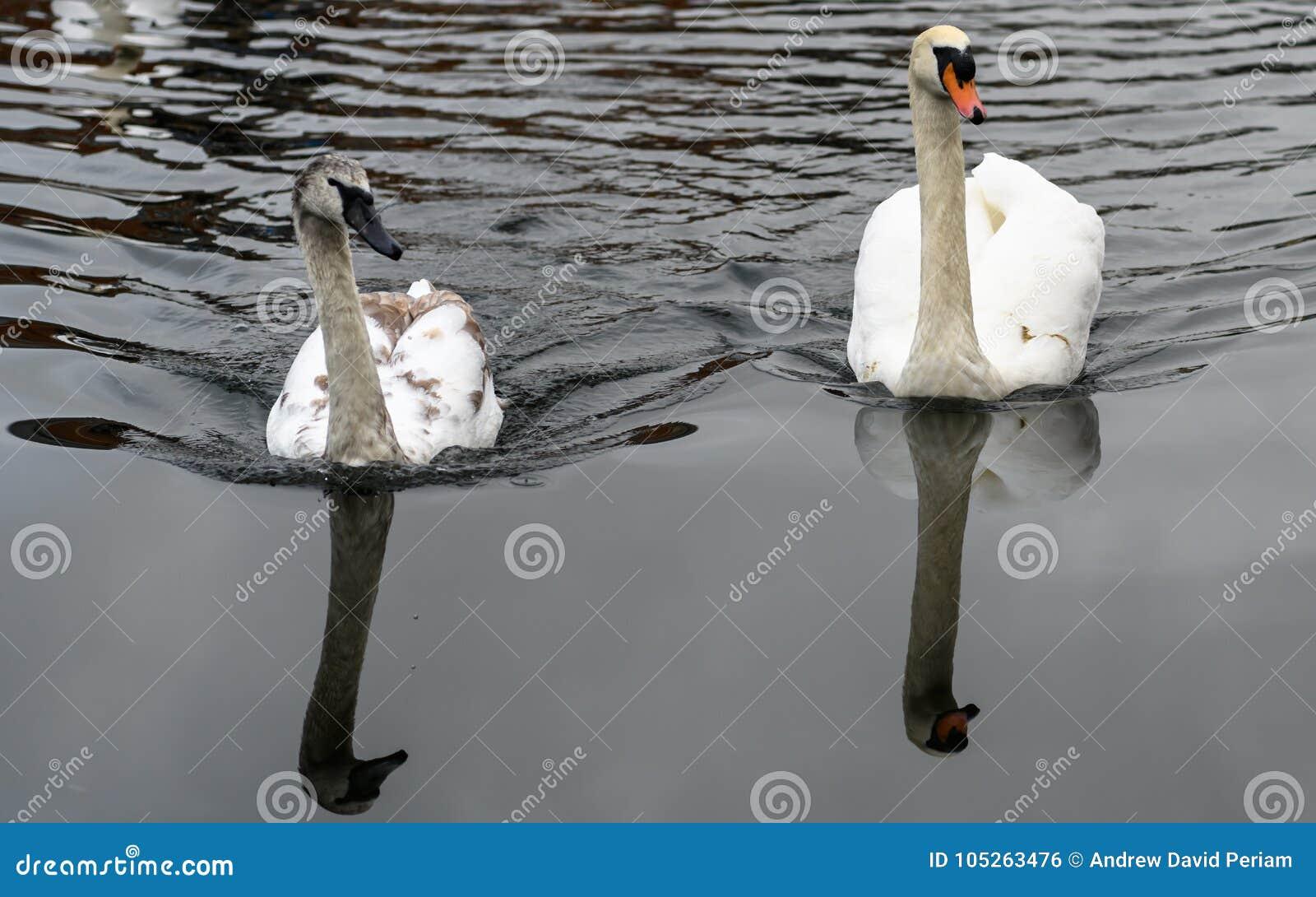 在河的天鹅