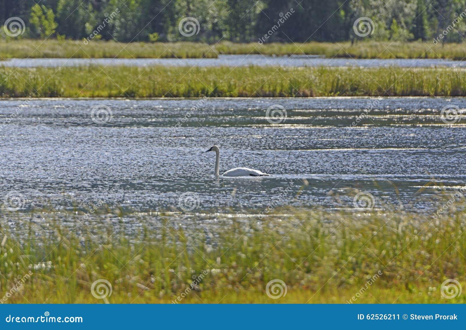在沼泽地池塘的野天鹅