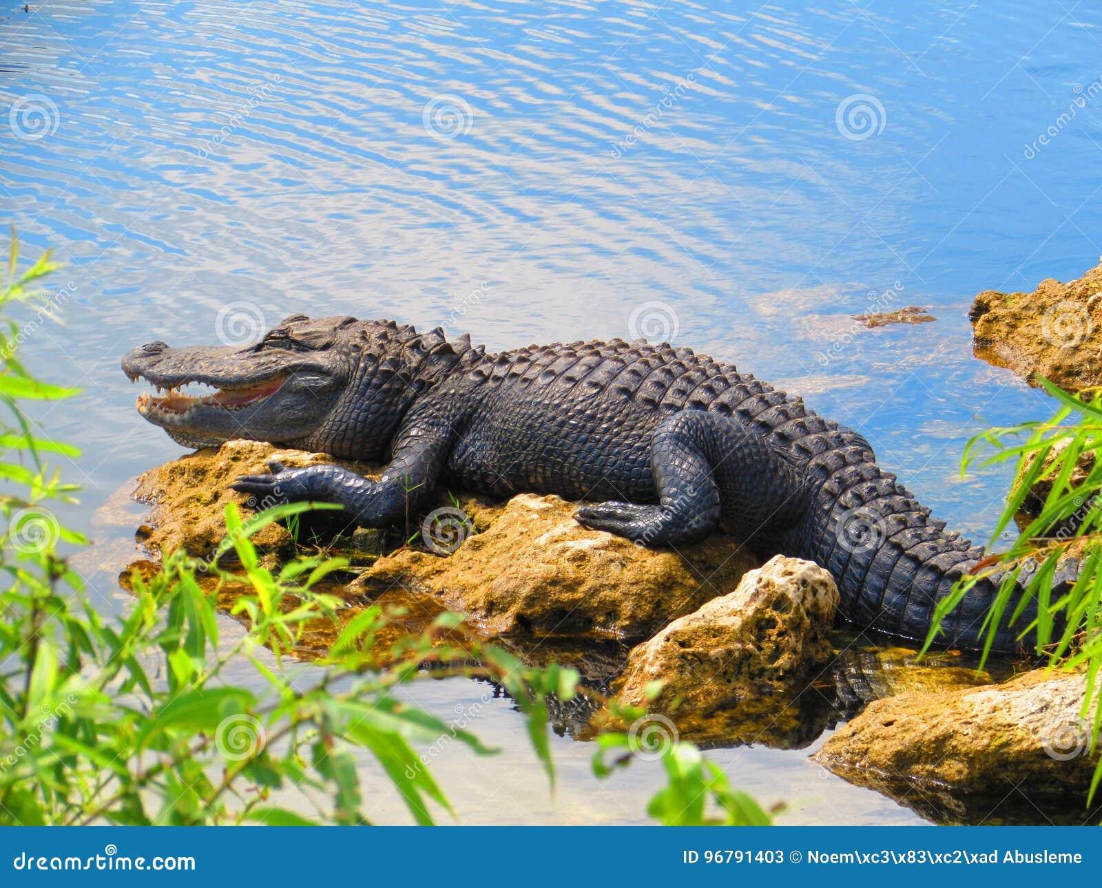 在沼泽地的鳄鱼