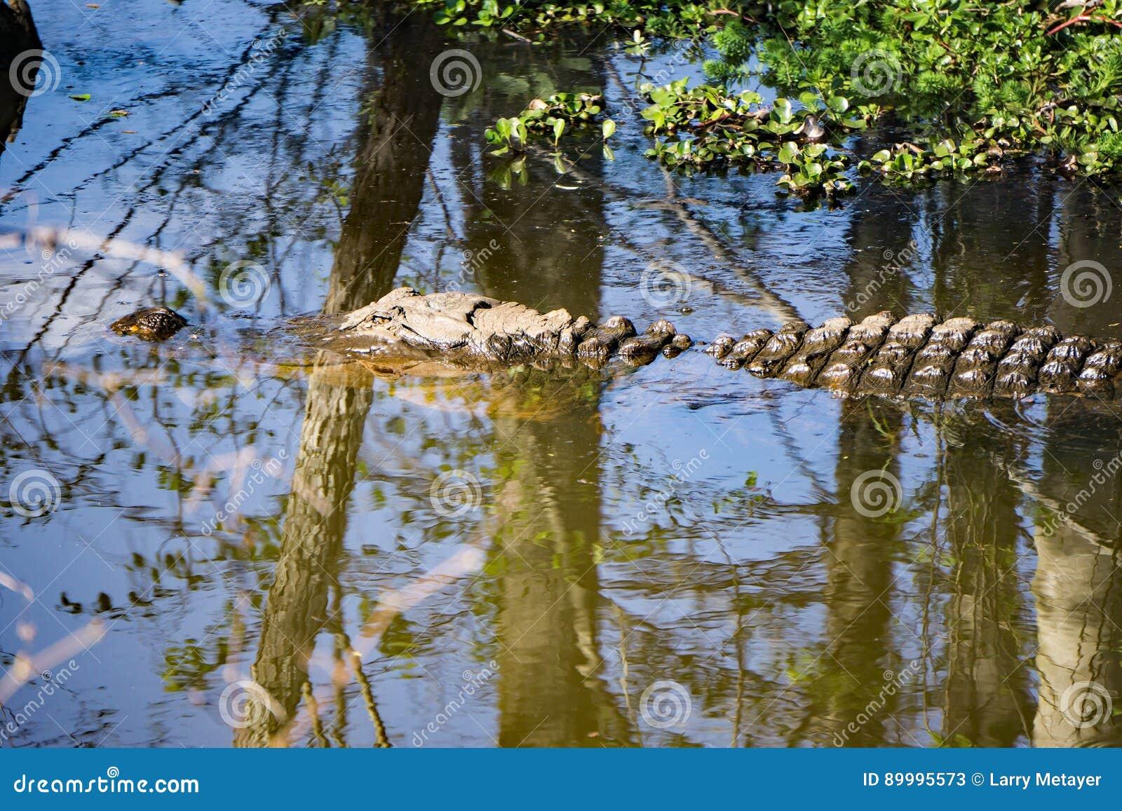 在沼泽的一条鳄鱼