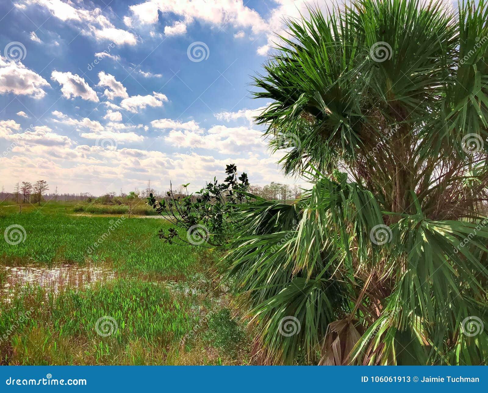 在沼泽的棕榈树