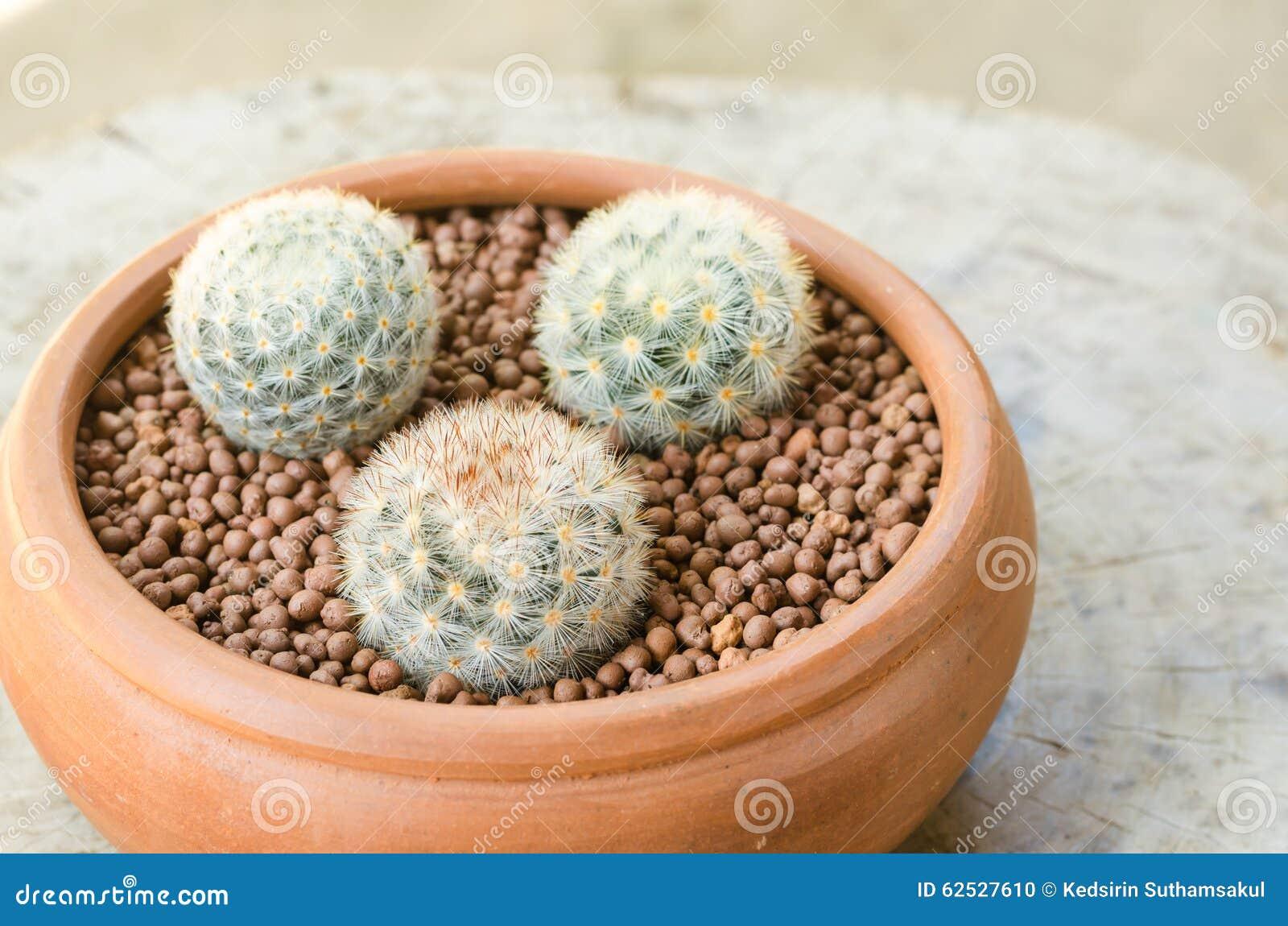 在泥罐的Mammillaria carmenae