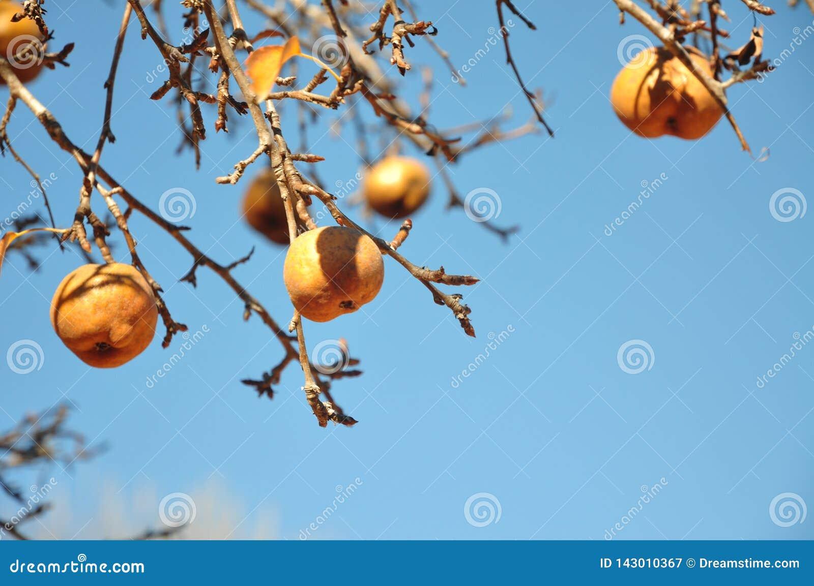 在洋梨树的金黄梨