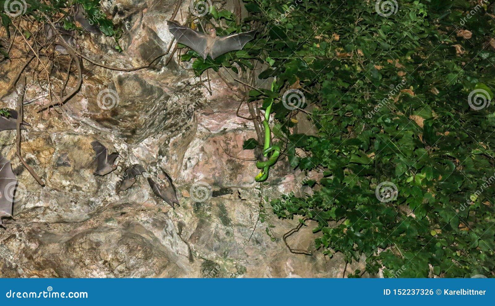 在洞的热带植被掩藏的一条毒蛇为它的牺牲者潜伏 棒在洞飞行在蛇等待它附近