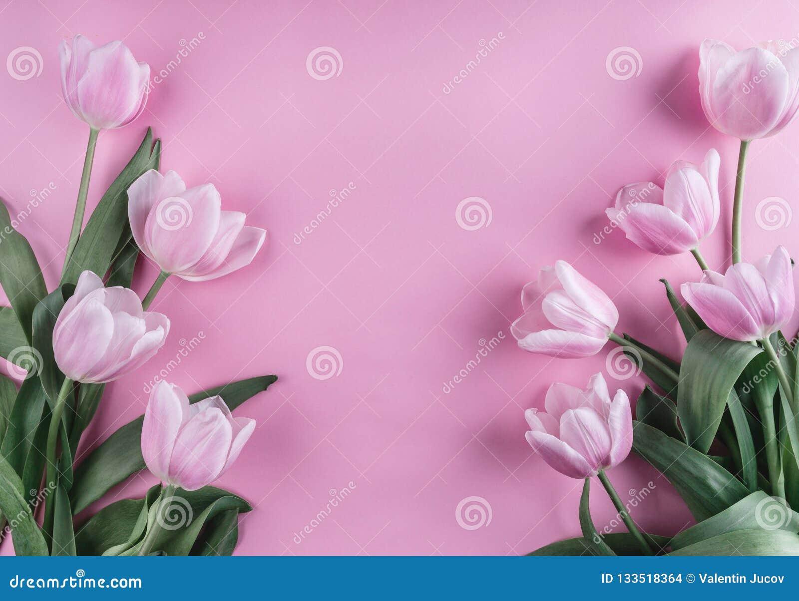 在浅粉红色的背景的桃红色郁金香花 贺卡或婚礼邀请 平的位置,顶视图