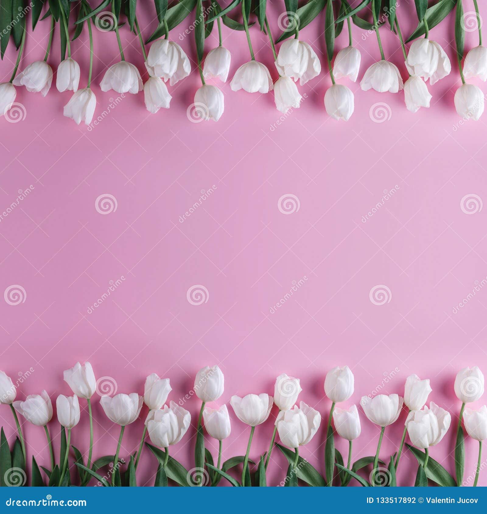 在浅粉红色的背景的白色郁金香花 贺卡或婚礼邀请