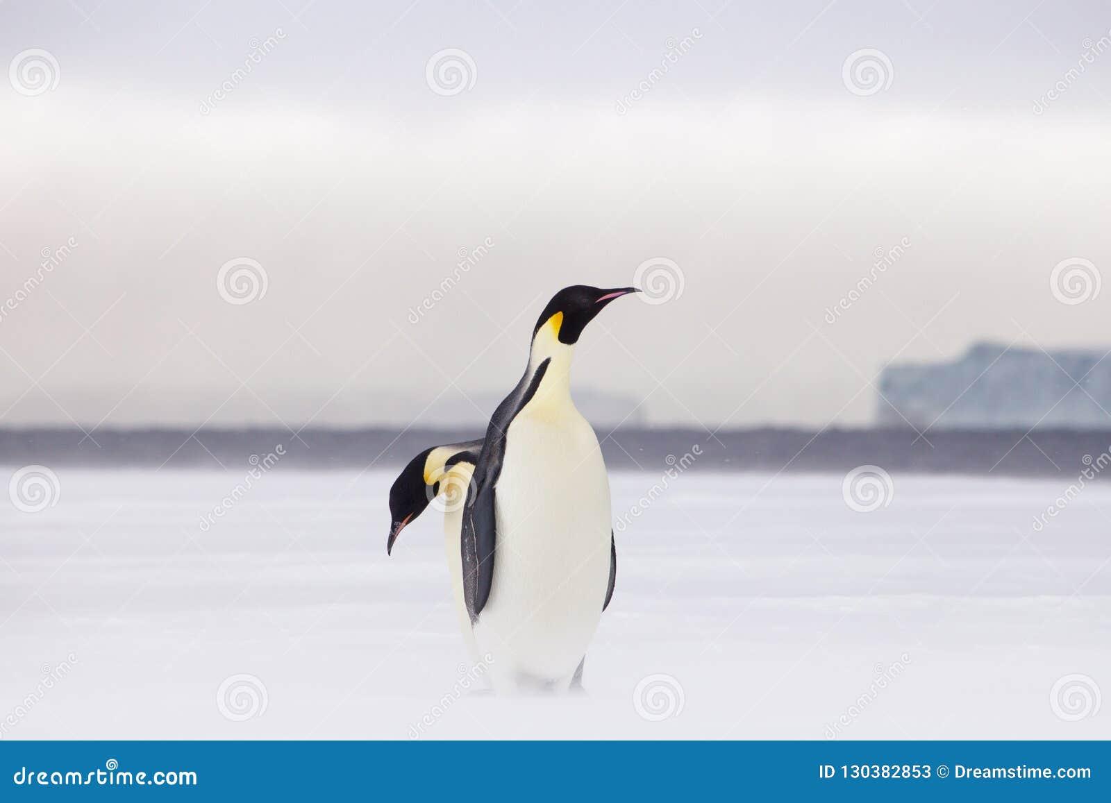 在海冰的皇企鹅
