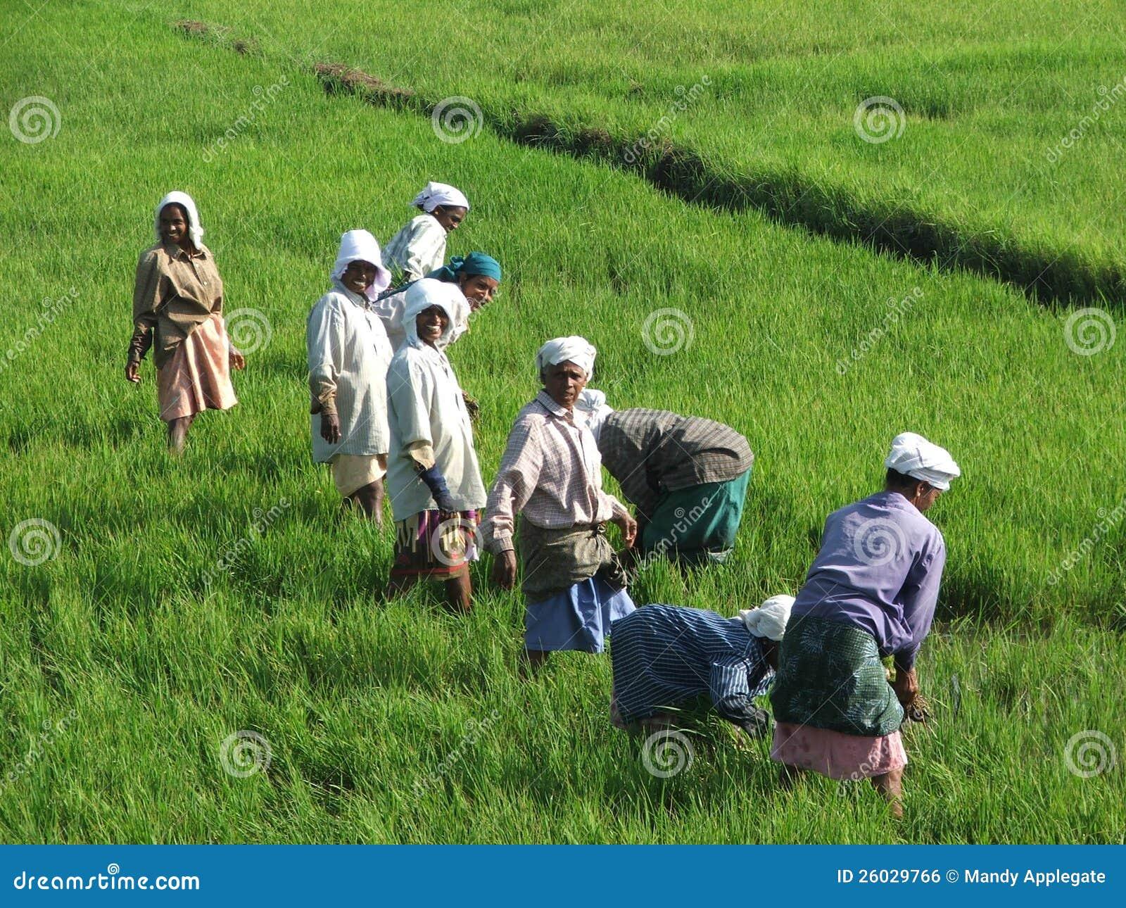 在海啸以后编组稻田的印第安妇女