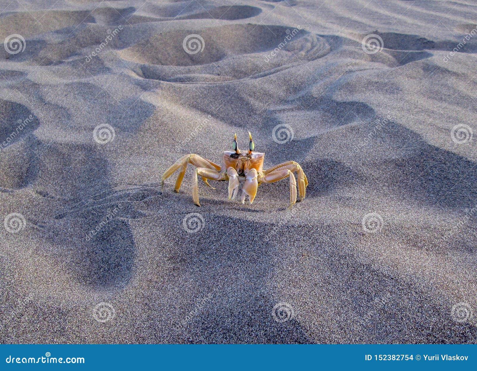 在海岸的一个黄色螃蟹