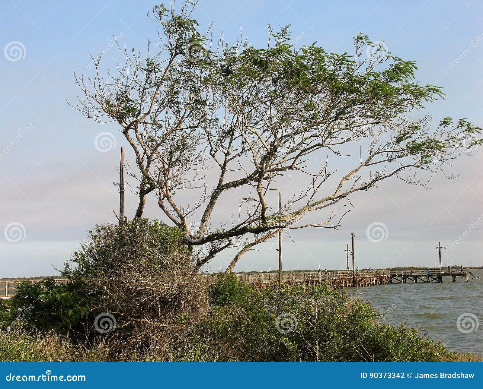 在海湾的豆科灌木