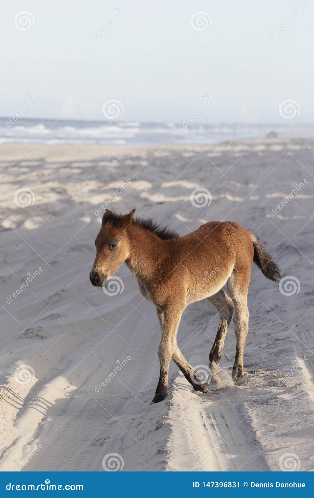 在海滩的外滩群岛野马