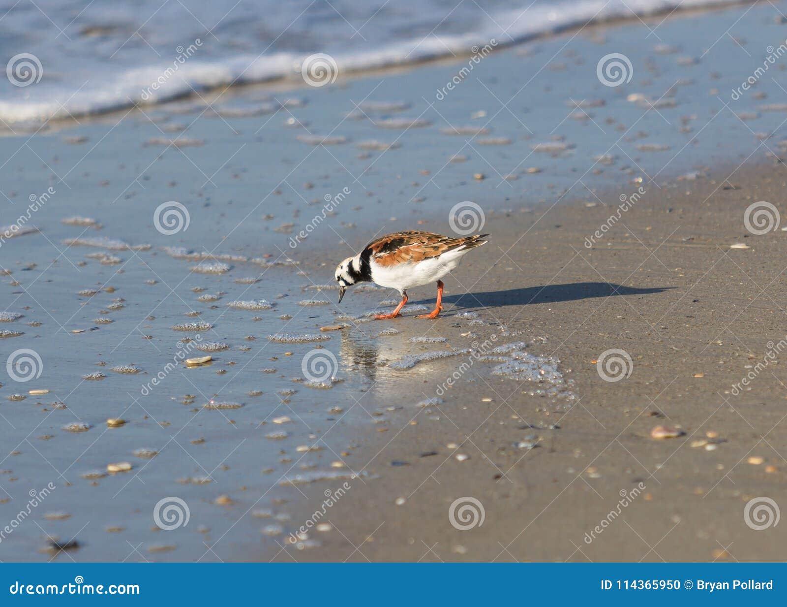 在海滩的翻石鹬