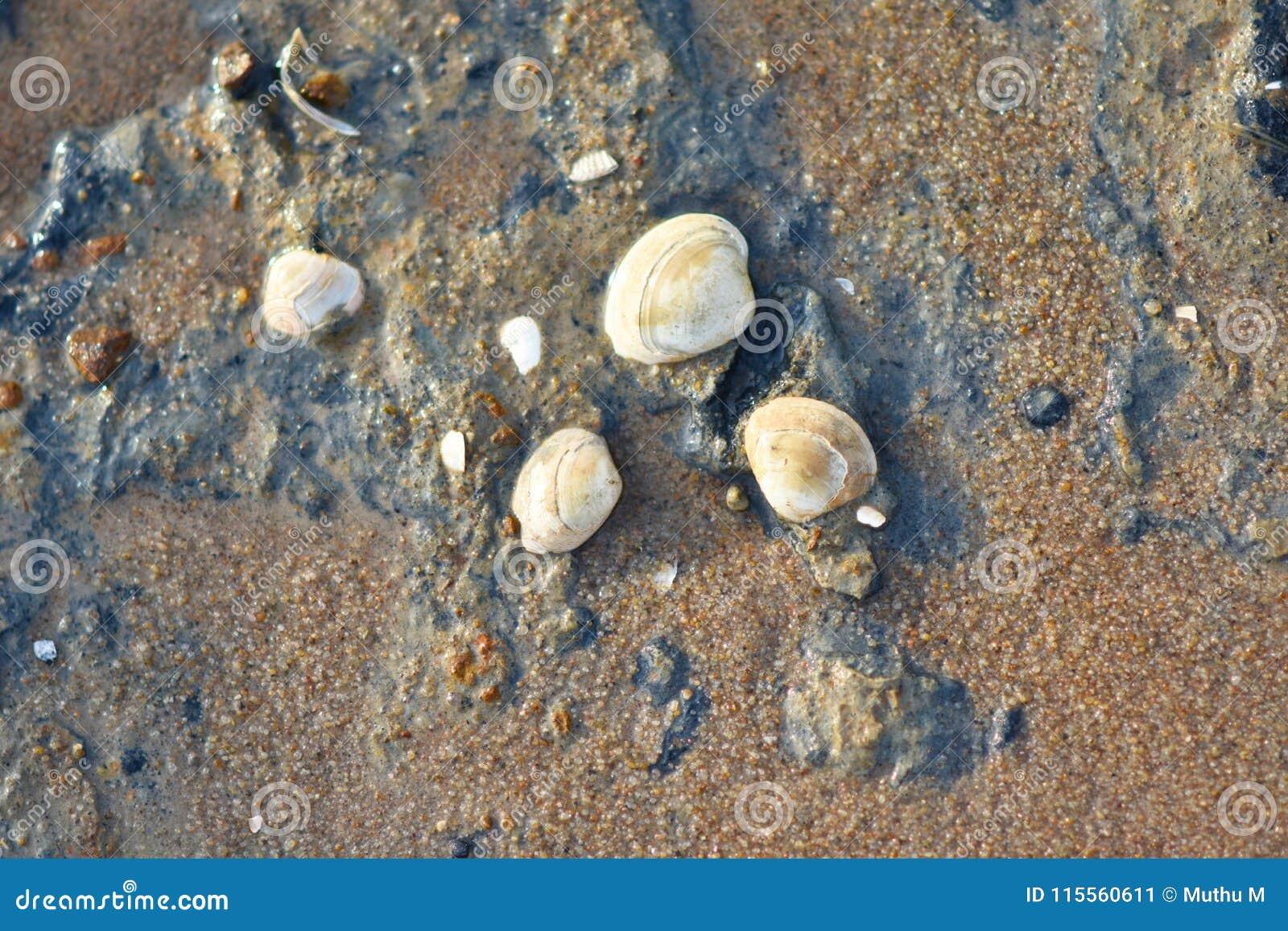 在海滩的贝壳背景&背景