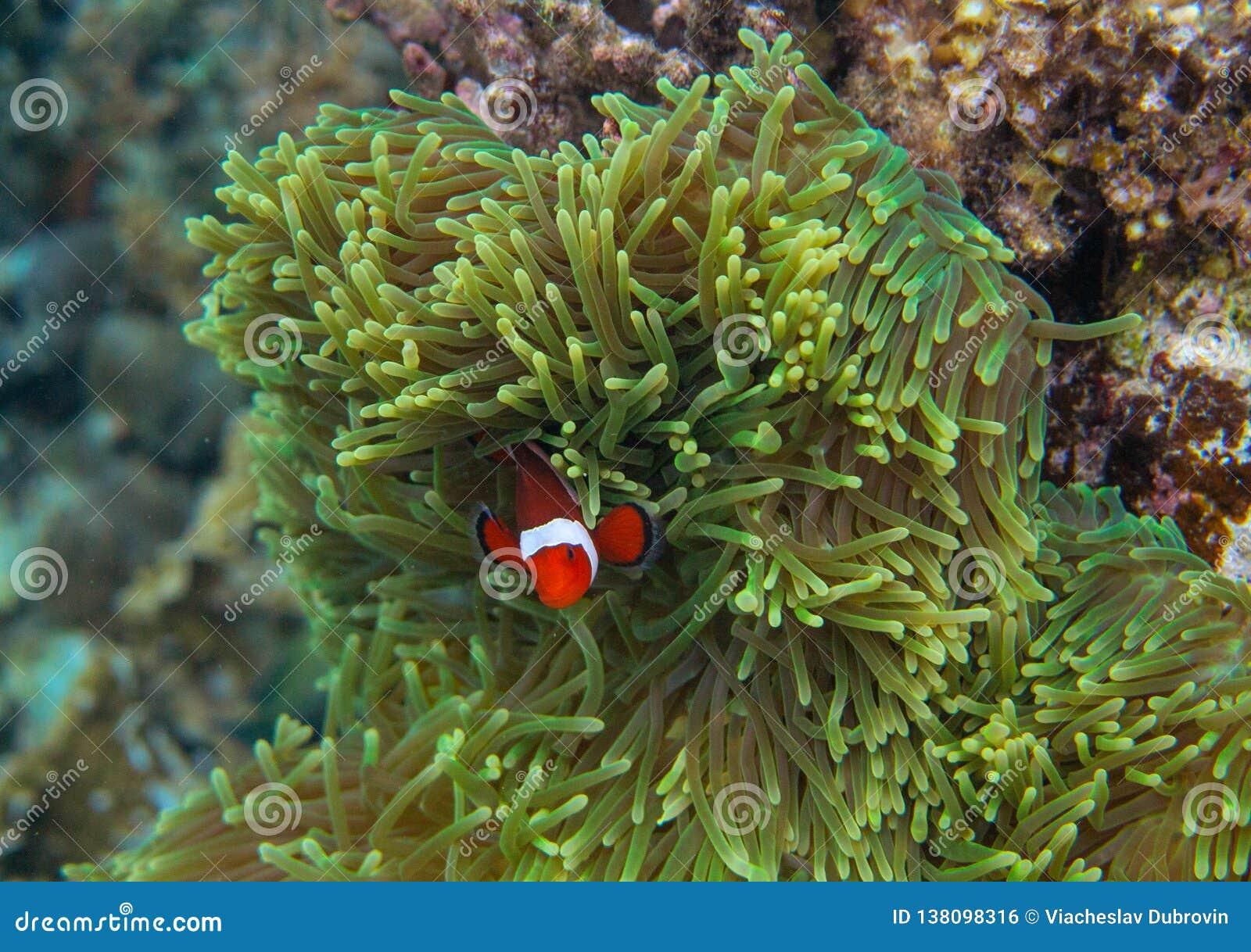 在海葵属的橙色clownfish 珊瑚礁水下的照片 在银莲花属的小丑鱼 潜水热带的海滨潜航或