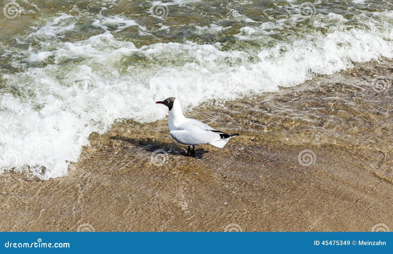 在海滩的地中海鸥