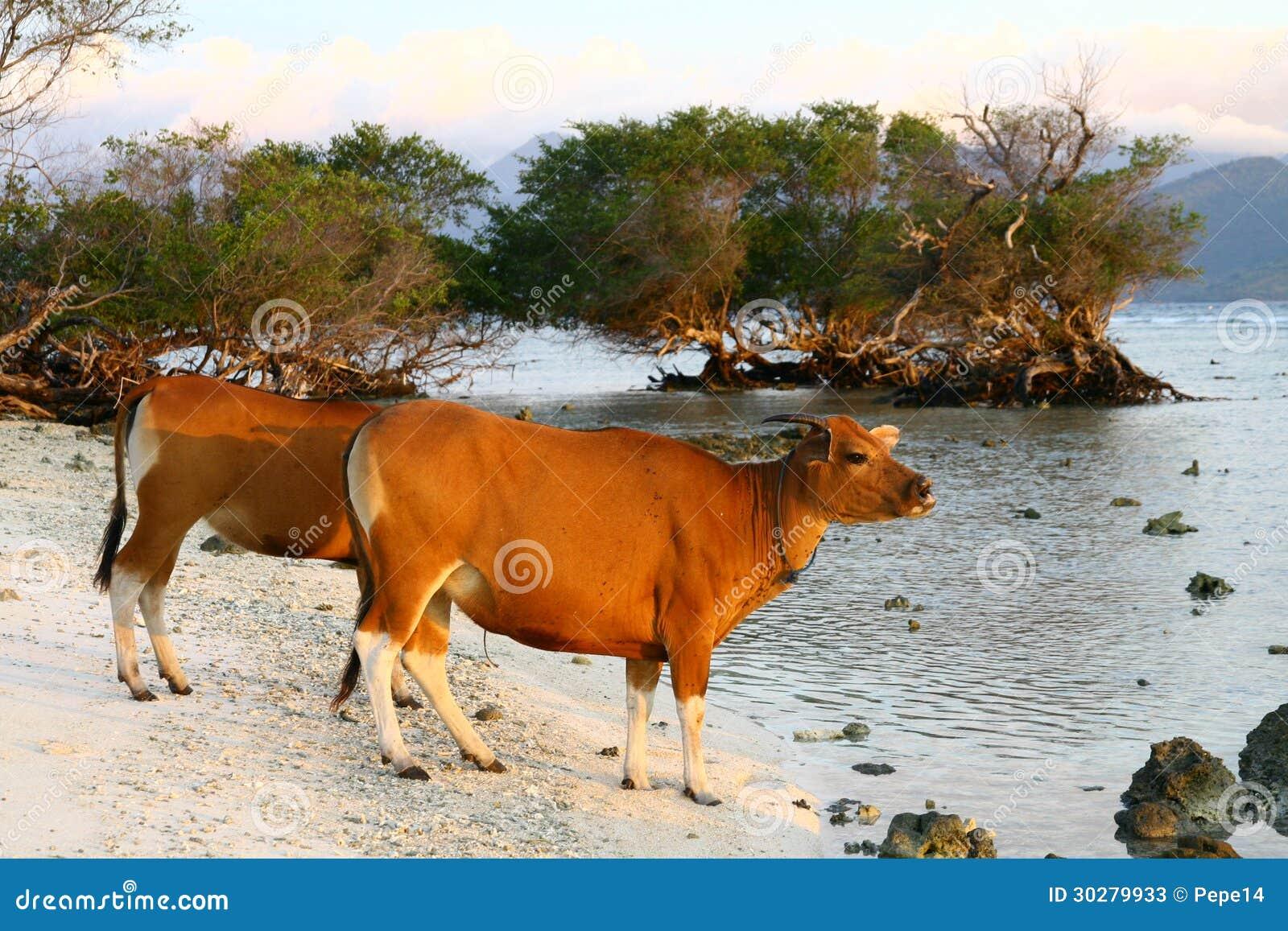 在海滩的母牛