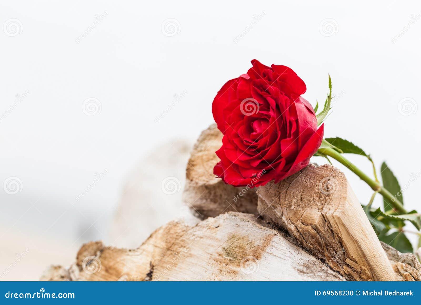 在海滩的红色玫瑰 爱,浪漫史,忧郁概念