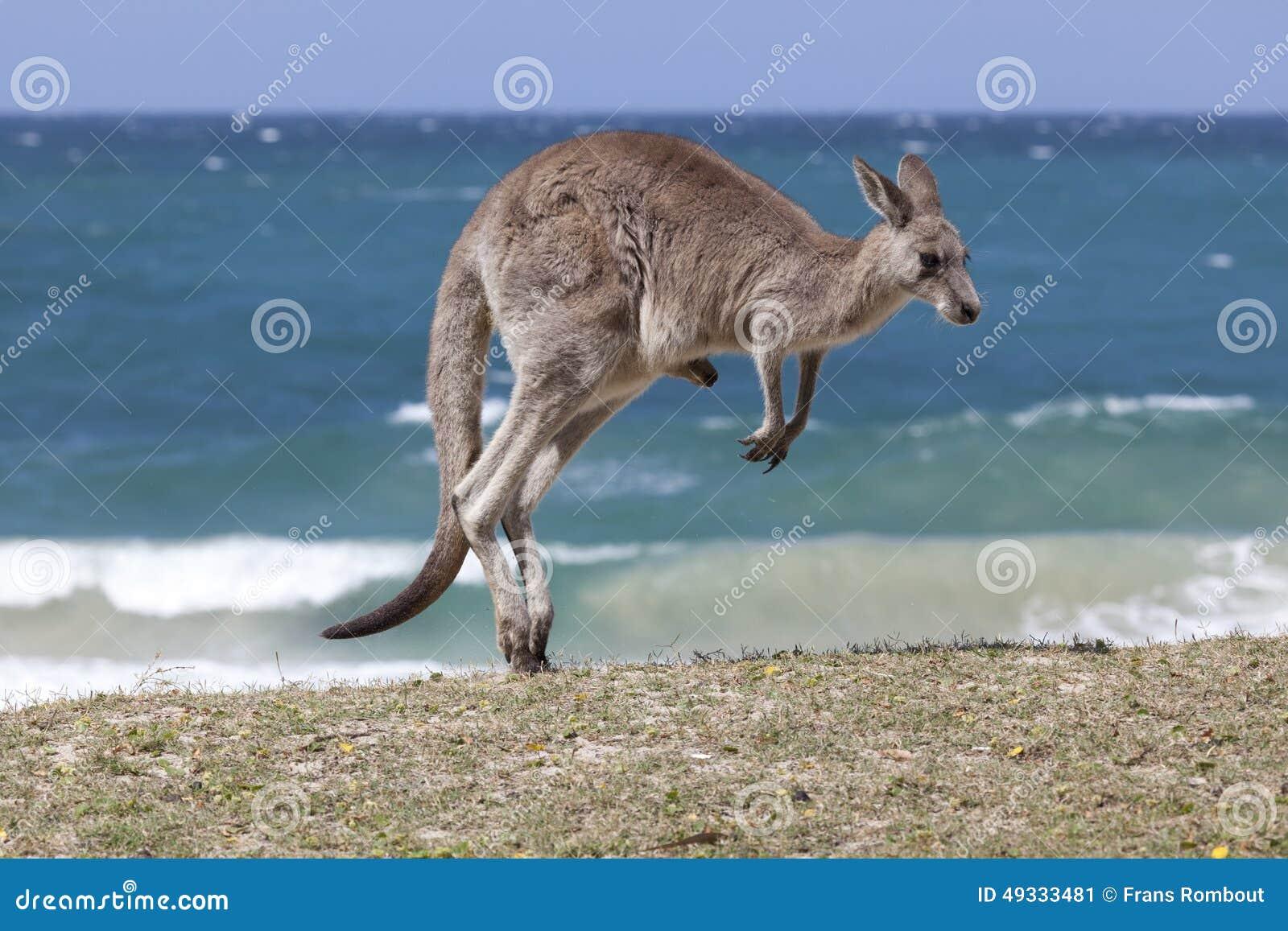 在海滩的跳跃的红色袋鼠,澳大利亚