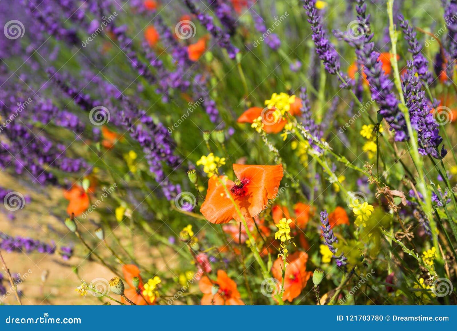 在淡紫色和黄色野花背景的鸦片