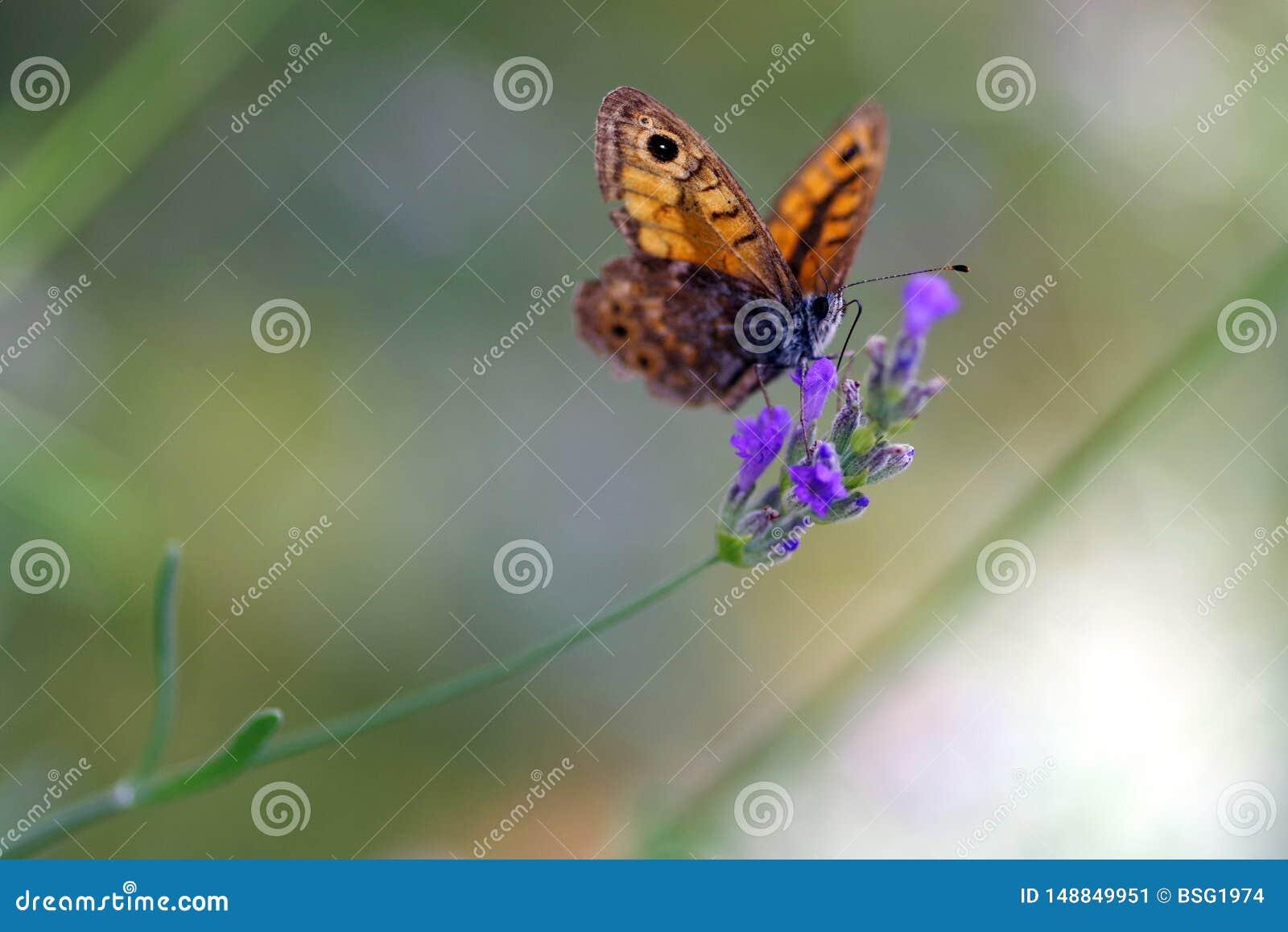 在淡紫色花的蝴蝶在克罗地亚