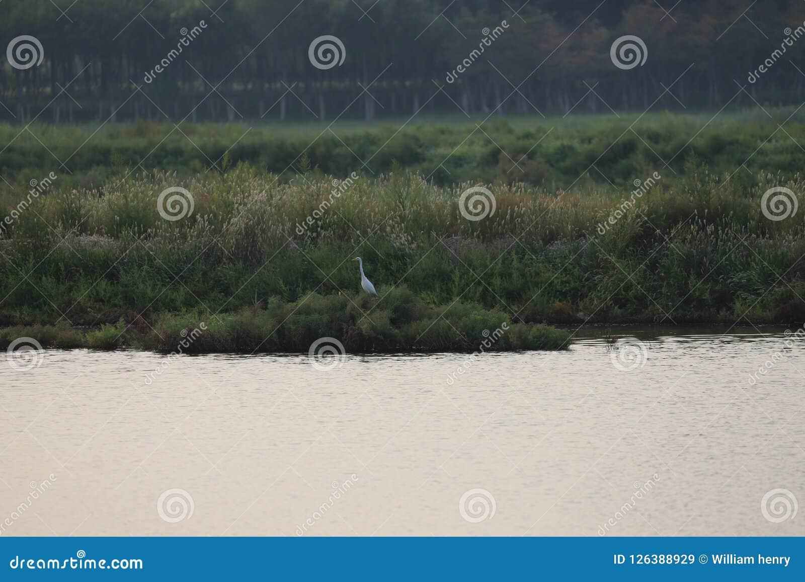 在渤海沼泽地新的parl的一孤立白鹭