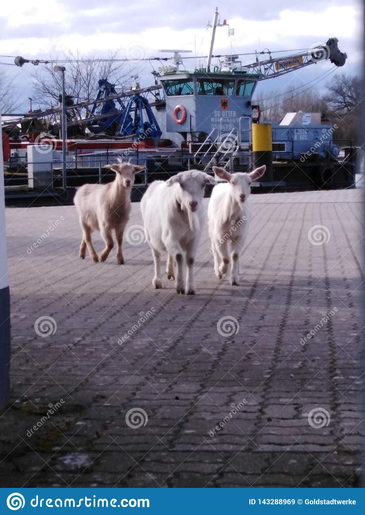 在游览中的山羊