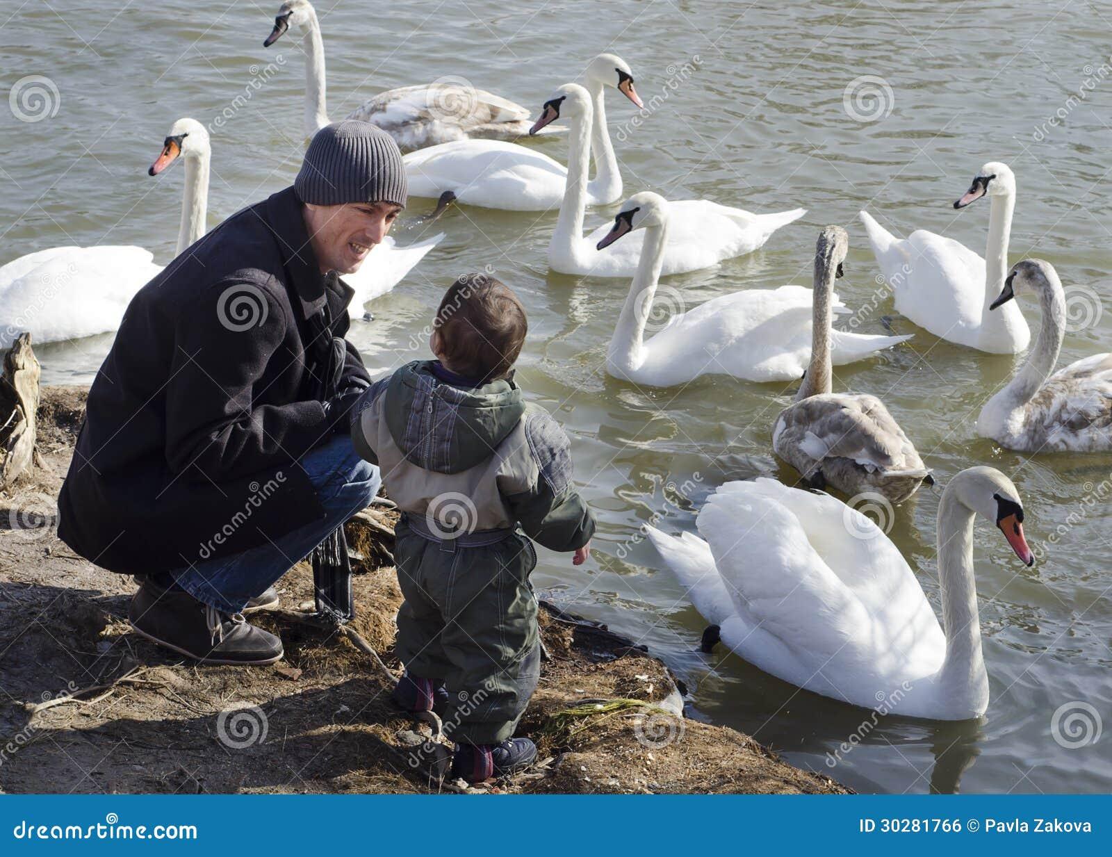 父亲和儿子哺养的天鹅