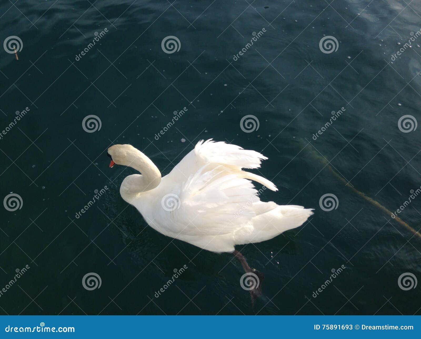 在湖的天鹅