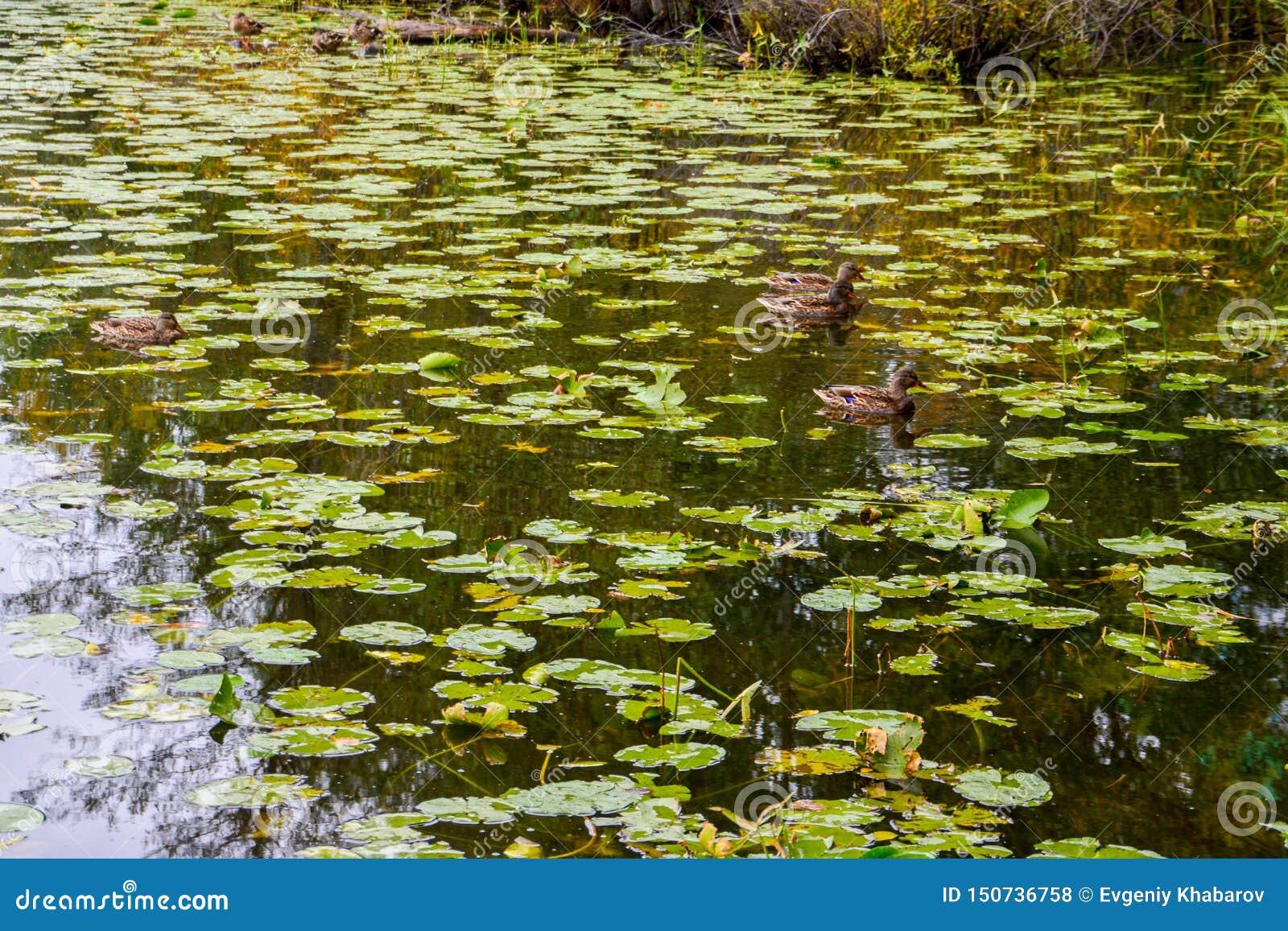 在湖的野鸭鸭子