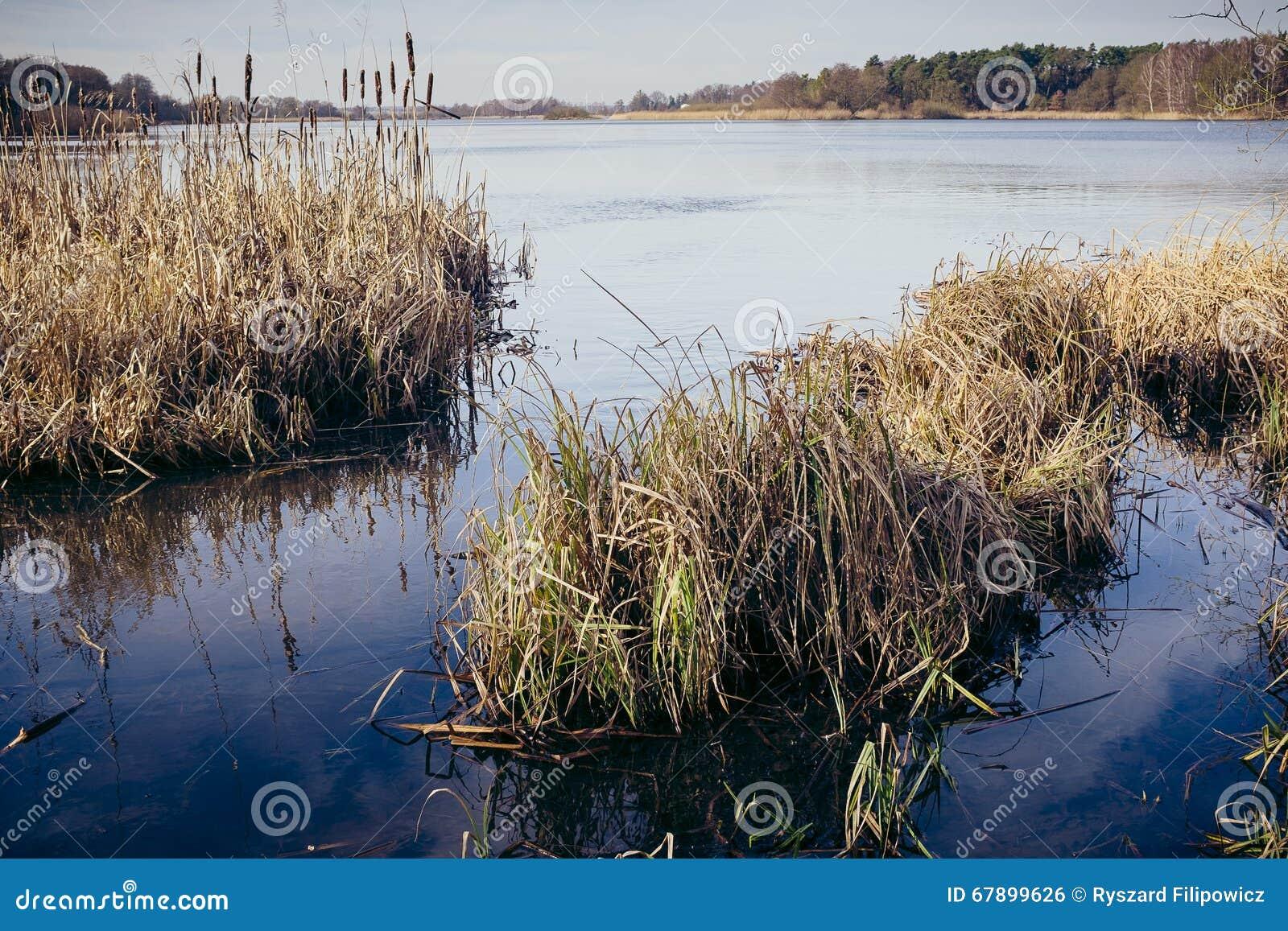 在湖的银行的干燥芦苇