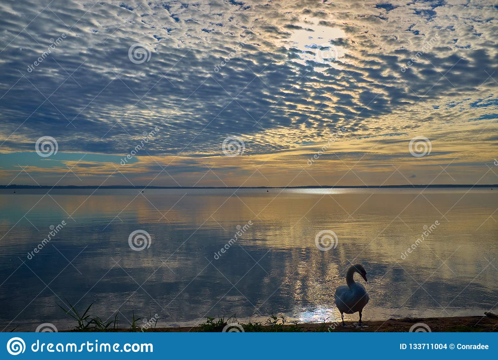 在湖附近的天鹅在五颜六色的日落期间