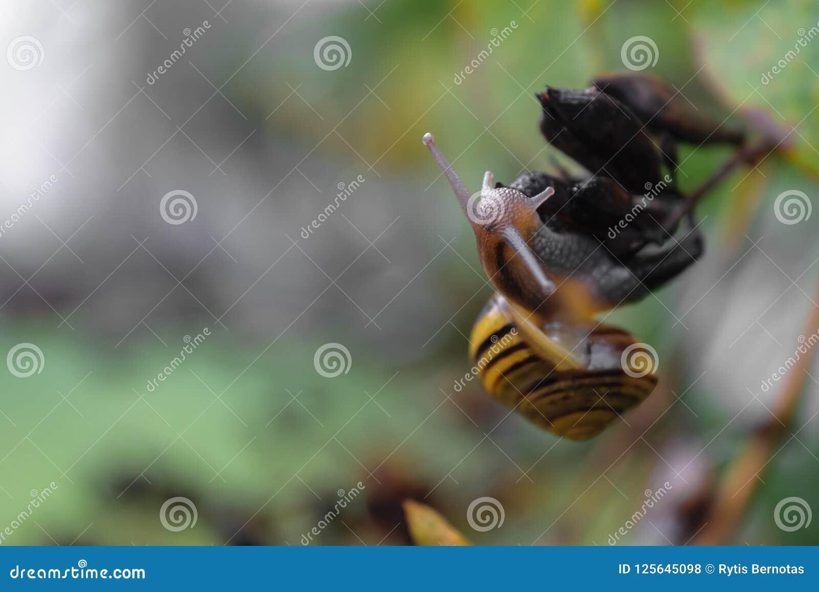 在灌木分支的黄色树丛蜗牛爬行 在蜗牛头的主要照相机焦点