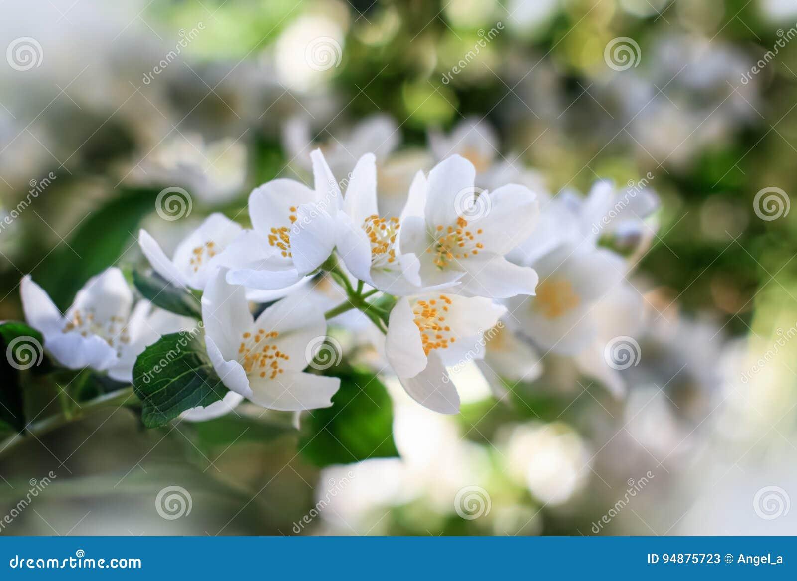 在灌木开花的茉莉花花