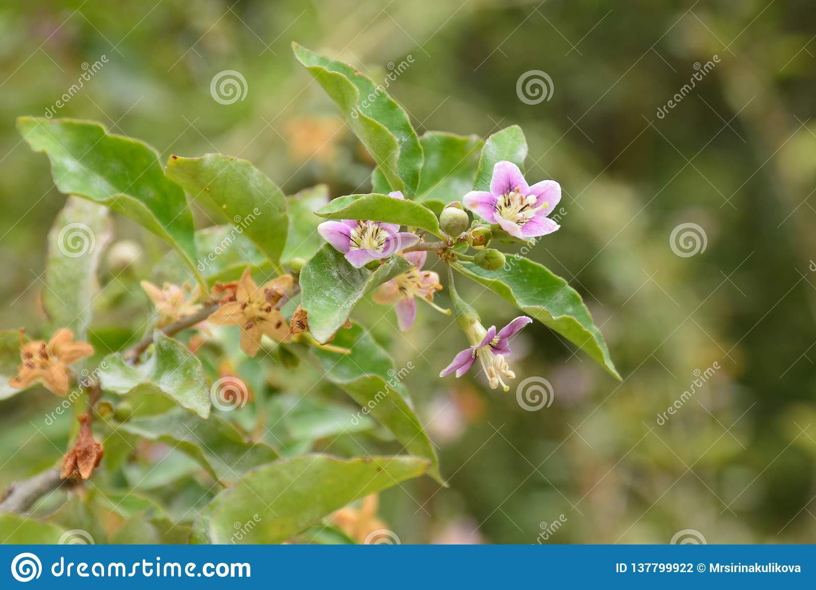 在灌木的分支的浅粉红色的小花在被弄脏的绿色背景的在春天