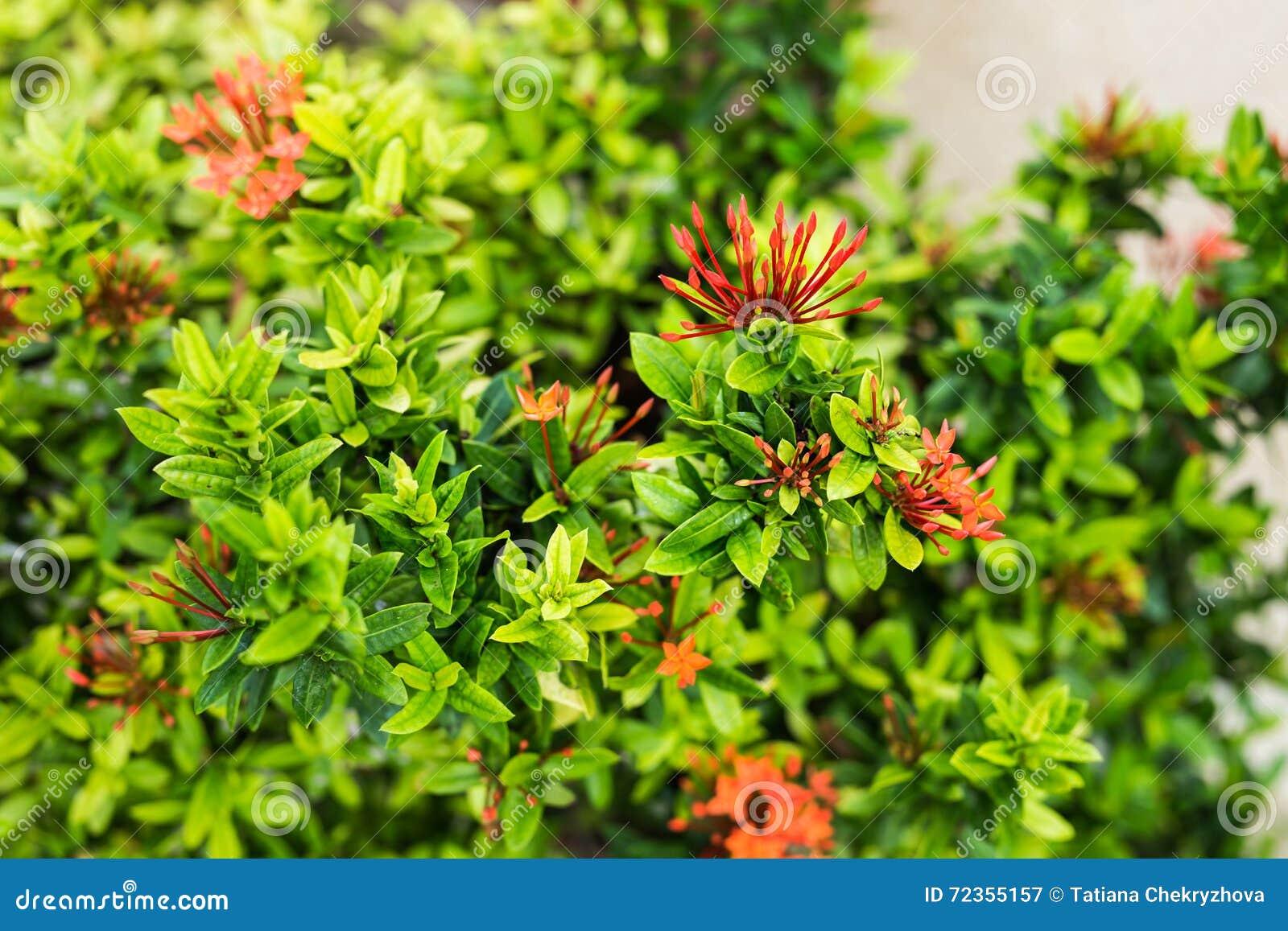 在灌木的红色花