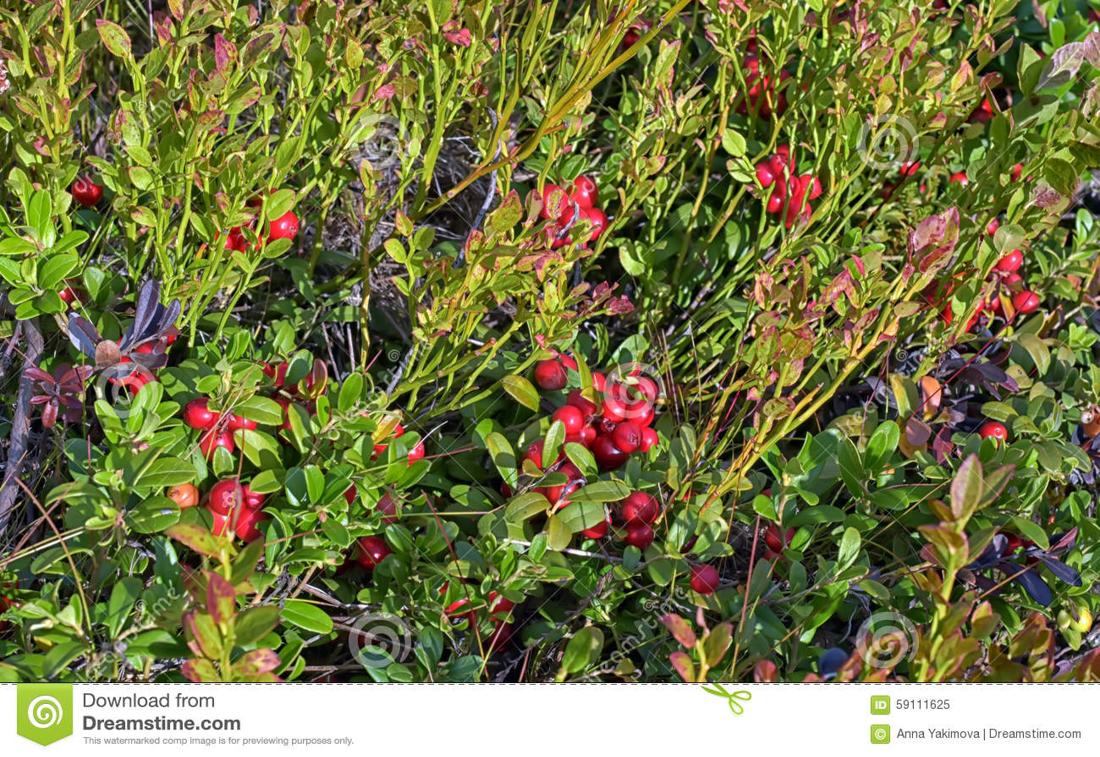 在灌木的蔓越桔