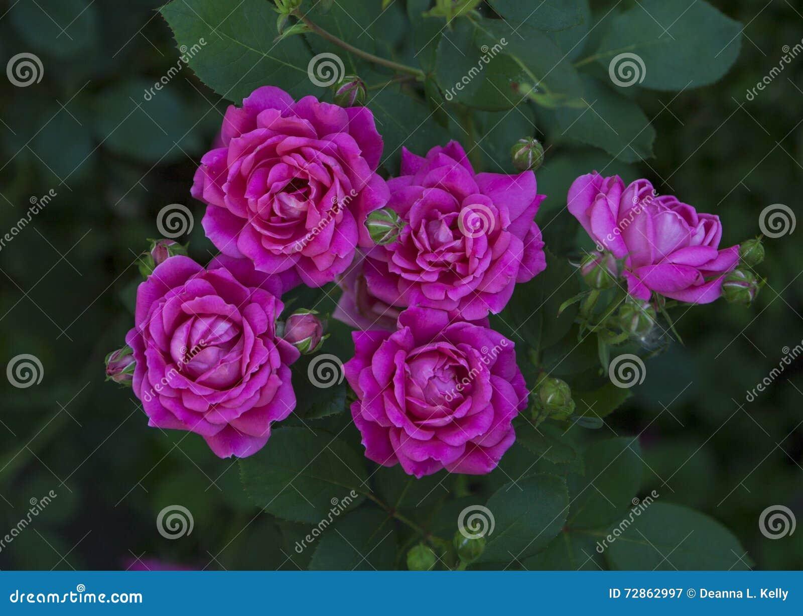 在灌木的Fuscia玫瑰