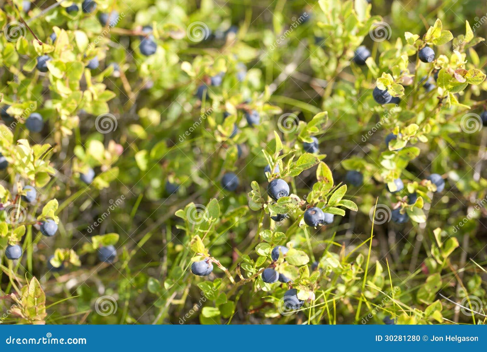 狂放的蓝莓