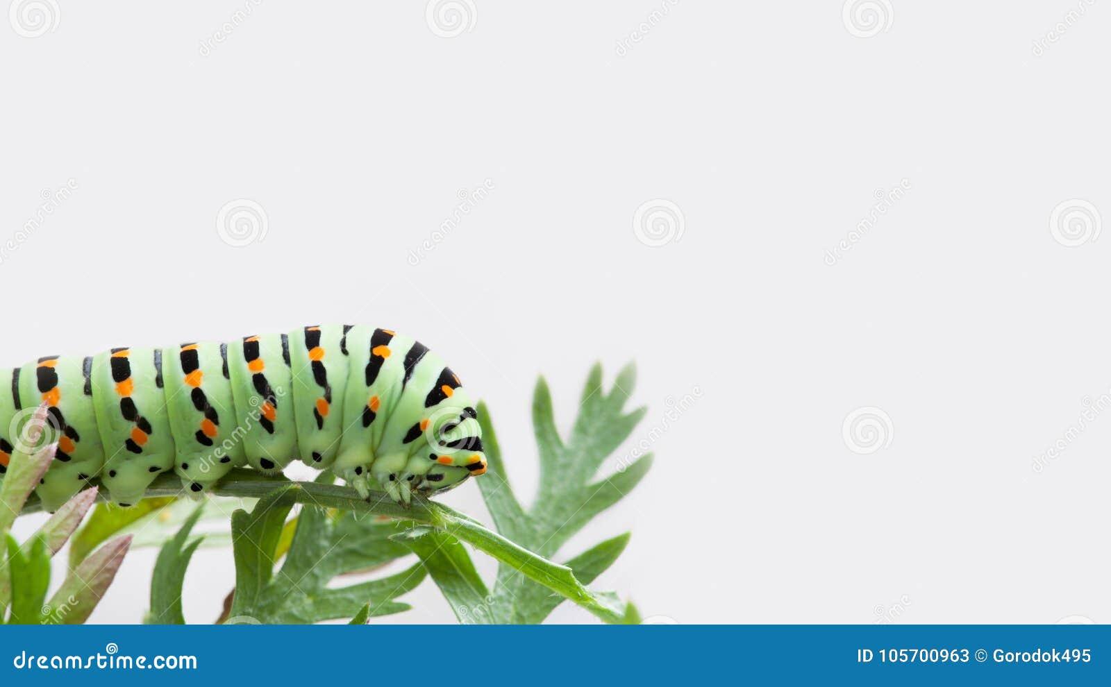 在灰色背景的宏观Papilio machaon毛虫蝴蝶 Beautifil绿色黑橙色昆虫掠食性动物昆虫