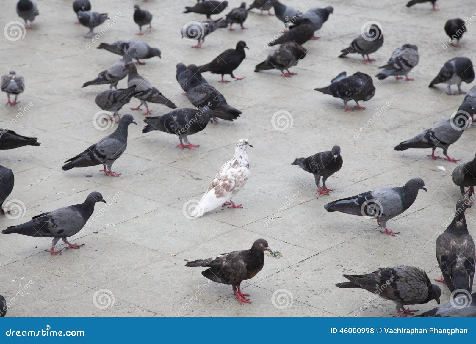 灰色的果实剧情_在灰色鸽子的白色鸠