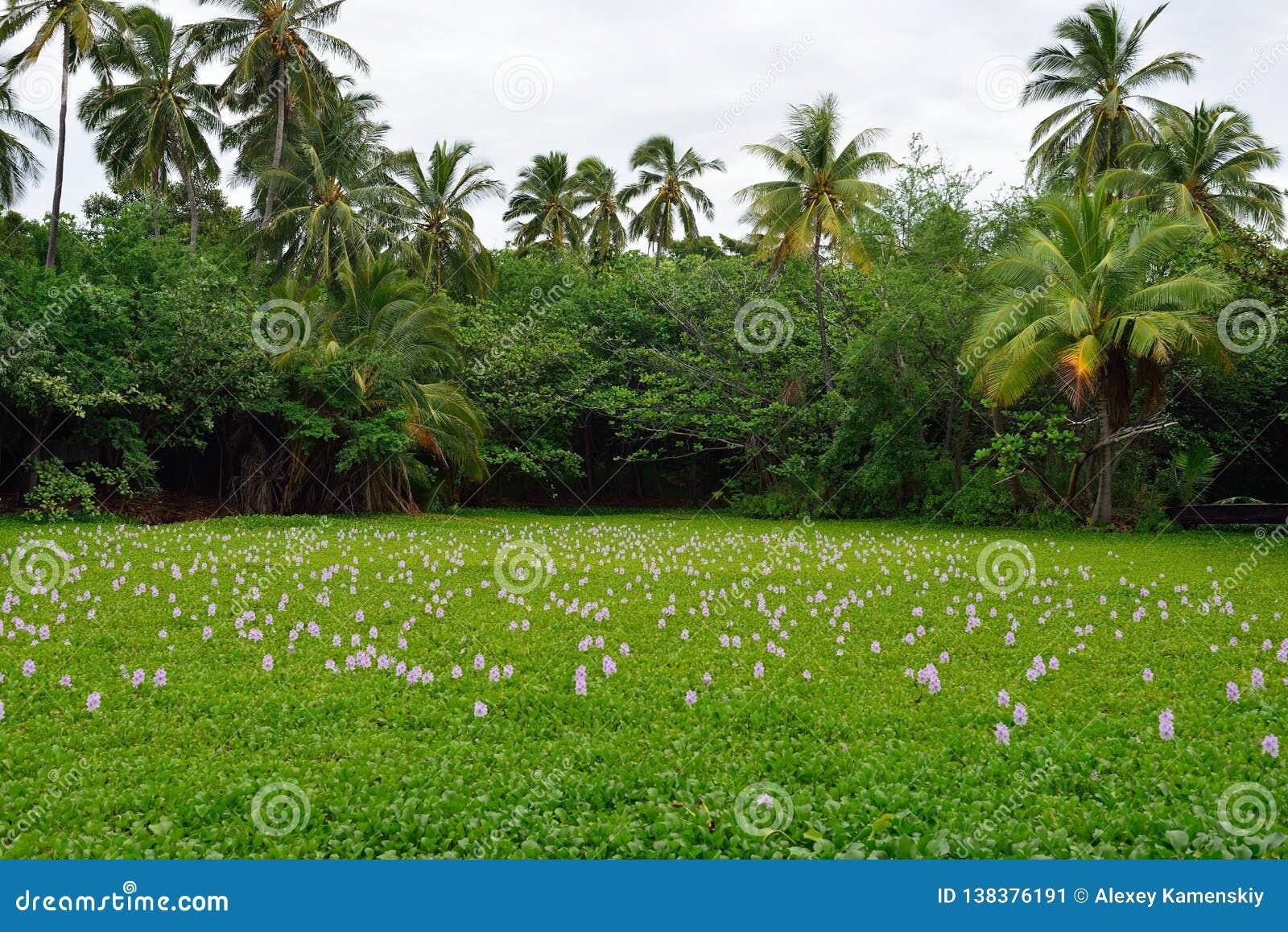 在热带湖的百合夏威夷的大岛