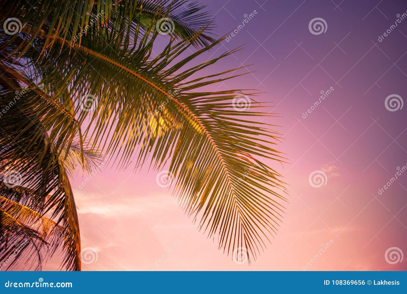 在热带的日落有棕榈树的