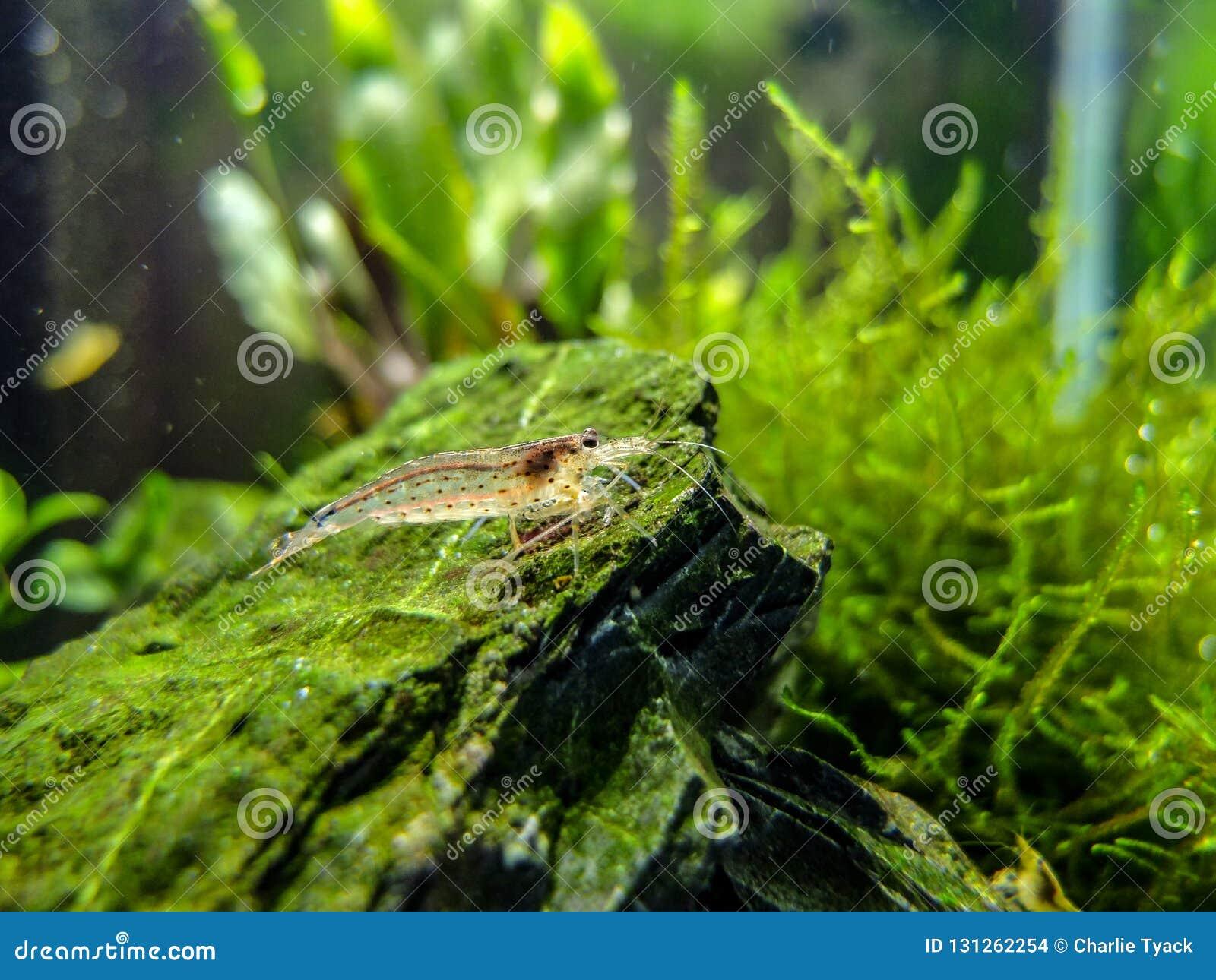 在热带纳诺淡水池的Amano虾