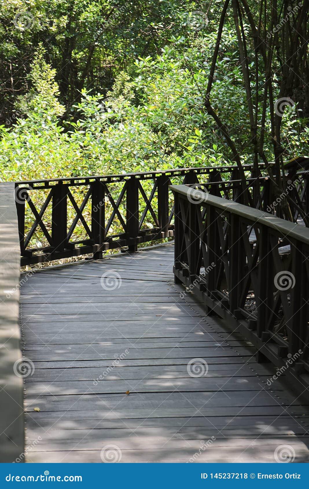 在热带美洲红树森林里面的木桥