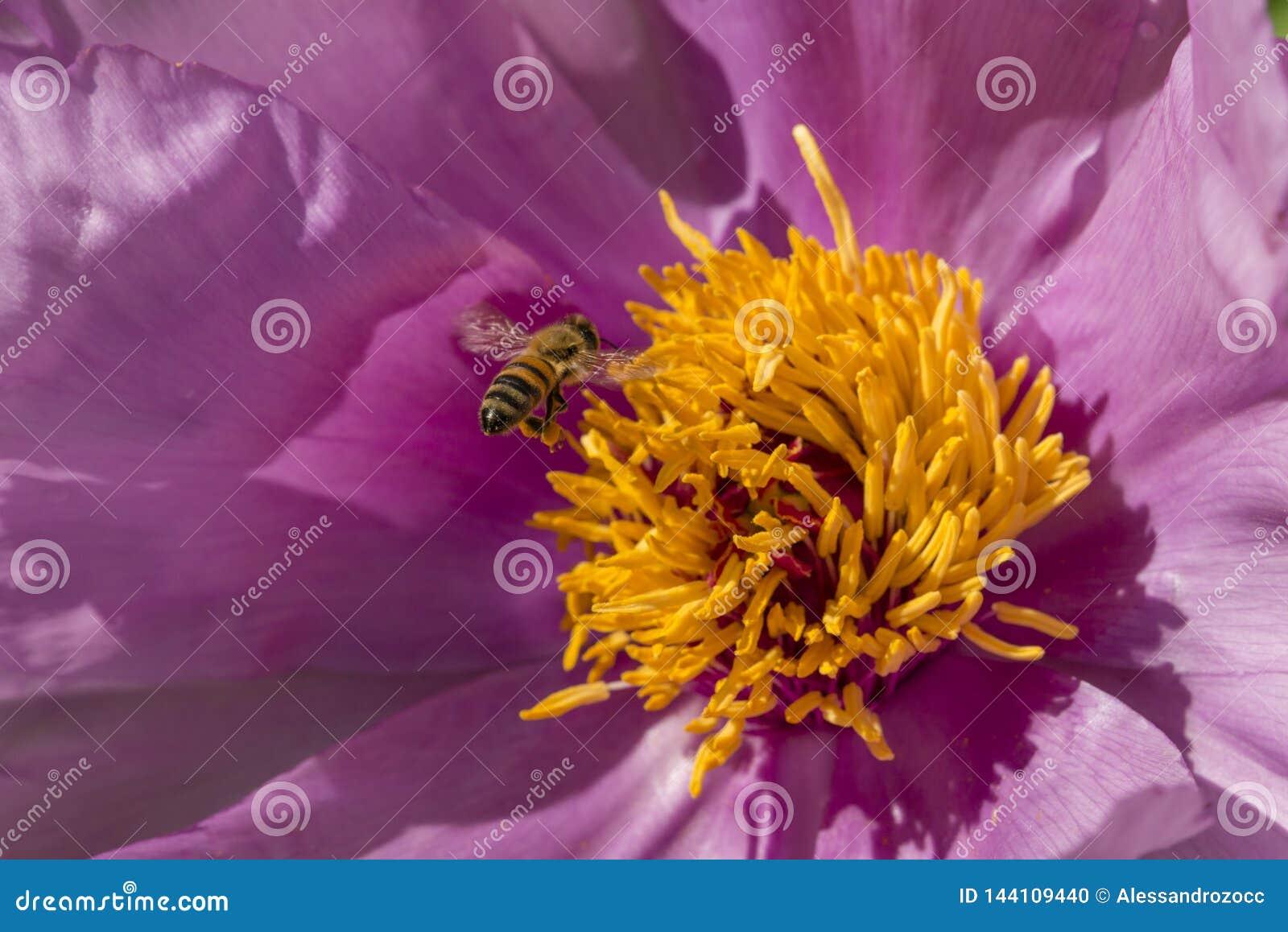 在牡丹花的蜂蜜蜂