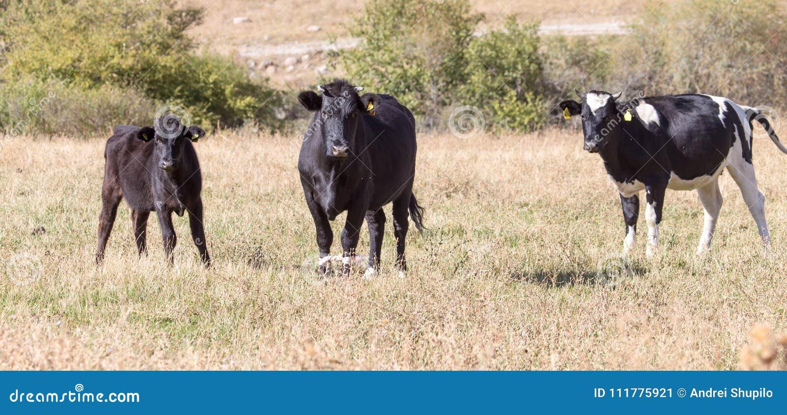 在牧场地的母牛秋天的