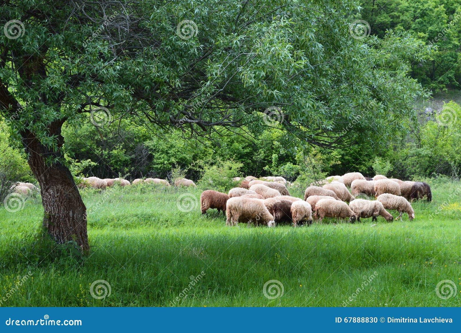 在牧场地的绵羊群