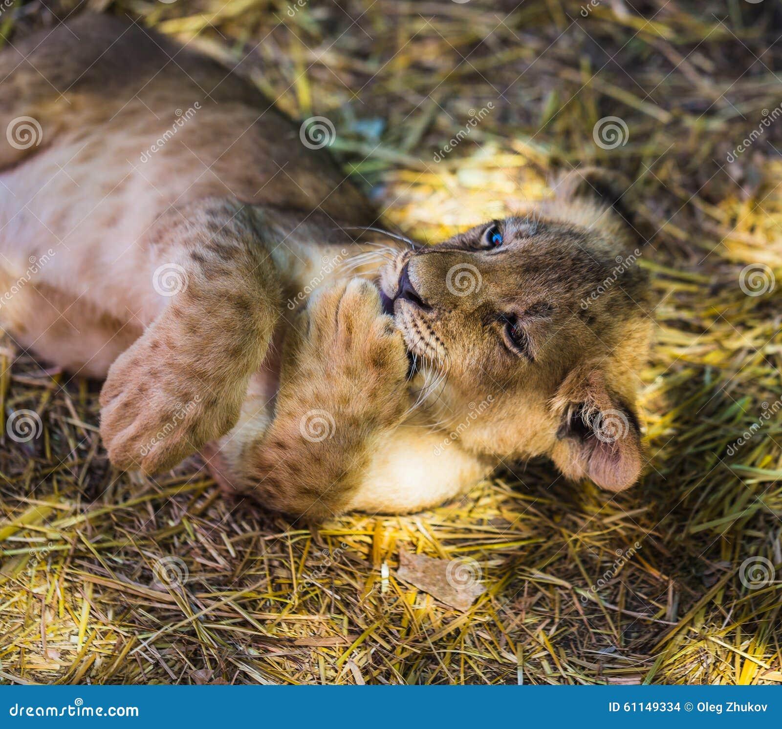 在狂放的幼小幼狮