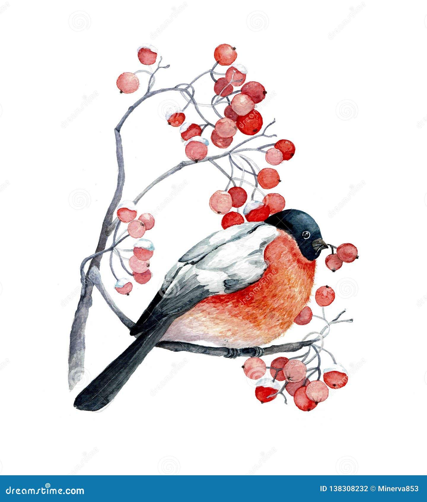 在狂放的灰分支的红色鸟用红色莓果